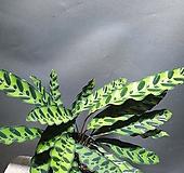 인시그니스 음지식물 공기정화식물 공룡꽃식물원 135|