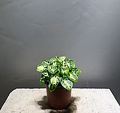 싱고니움 싱고늄 소품 공룡꽃식물원 수경재배 공기정화식물 27|
