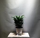 콤팩타 중품 공기정화식물 공룡꽃식물원 84|