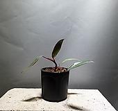 필로덴드론핑크프린세스 필로덴드론 수입식물 공룡꽃식물원 385|