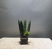 스투키 소품 공기정화식물 44 공룡꽃식물원|Sansevieria Stuckyi
