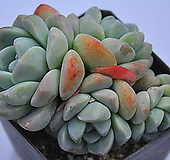 묵은아이시그린(C013)|Echeveria Ice green