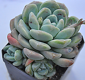 묵은아이시그린(C015)|Echeveria Ice green