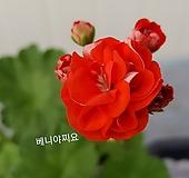베니야찌요(제라늄)|Geranium/Pelargonium