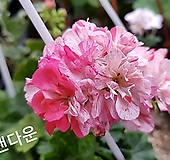 샌다운(제라늄)|Geranium/Pelargonium