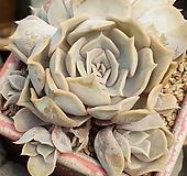 릴리시나묵은둥이|Echeveria lilacina