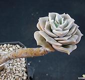 러블리로즈 (묵은둥이) X022104|Lovely Rose