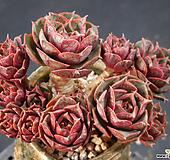 환엽롱기시마 (한몸묵은둥이) X022106|Echeveria longissima