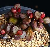 묵은둥이 리틀스페로이드 1|Echeveria minima hyb Roid