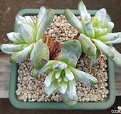 야생파키피텀.왕목대.튼튼한삼두|Dudleya pachyphytum