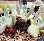 파키피덤(뿌리좋아요)3두7695|Dudleya pachyphytum