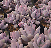 클라바타미인 자연군생(랜덤).2019.03/15|Pachyveria clavata