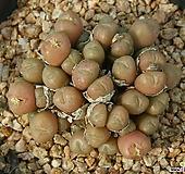 코노피튬|Conophytum