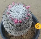 희망환선인장03228|Mammillaria albilanata Backeb