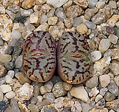 Conophytum obcordellum spectabile-2두(코노 옵코델룸 스펙타빌3.22)|