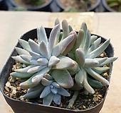 화이트그리니 9|Dudleya White gnoma(White greenii / White sprite)