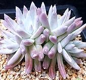 189.목대얼큰이화이트그리니4두|Dudleya White gnoma(White greenii / White sprite)