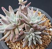 화이트그리니6두|Dudleya White gnoma(White greenii / White sprite)