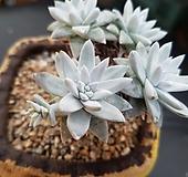 화이트그리니묵은목대군생_35|Dudleya White gnoma(White greenii / White sprite)