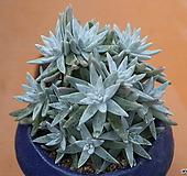 화이트그리니C44(커팅군생11두이상)|Dudleya White gnoma(White greenii / White sprite)