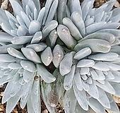 화이트그리니(자연군생 8)|Dudleya White gnoma(White greenii / White sprite)