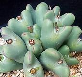 198.큰얼굴코노피튬축전(15두|Conophytum