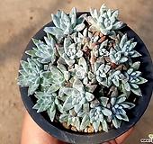 (특가)화이트그리니(자연군생) 33-16|Dudleya White gnoma(White greenii / White sprite)