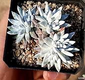 화이트그리니 33-108|Dudleya White gnoma(White greenii / White sprite)