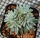 화이트 그리니_b6|Dudleya White gnoma(White greenii / White sprite)