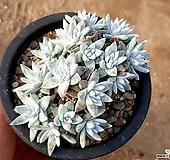 화이트그리니(자연군생) 33-174|Dudleya White gnoma(White greenii / White sprite)