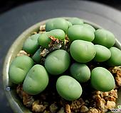 코노피튬 3-900|Conophytum