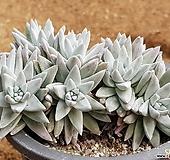 화이트그리니 9103-9046|Dudleya White gnoma(White greenii / White sprite)