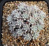 화이트그리니 0324|Dudleya White gnoma(White greenii / White sprite)