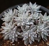 묵은화이트그리니14두자연|Dudleya White gnoma(White greenii / White sprite)