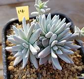 화이트그리니14|Dudleya White gnoma(White greenii / White sprite)