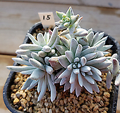 화이트그리니15|Dudleya White gnoma(White greenii / White sprite)