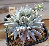 화이트그리니20|Dudleya White gnoma(White greenii / White sprite)