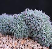 룬데리철화 M03-1144 Echeveria setosa v deminuta