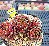 원종롱기시마3-2891|Echeveria longissima
