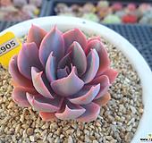 핑키금3-2905 Echeveria cv Pinky