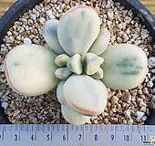 방울복랑금 자구9개 32415 Cotyledon orbiculata cv variegated