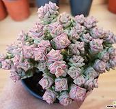 희성금-68 Crassula Rupestris variegata