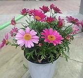 목마가렛 꽃 사계절피는아이|