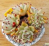 골드동운군생,철화(적심) Echeveria agavoides var. Corderoyi