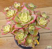 묵은목대 까라솔 Aeonium decorum f variegata
