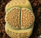 라59_ julii ssp.(가든실생선발) 
