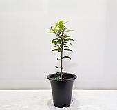레몬나무/공기정화식물/반려식물/온누리 꽃농원|