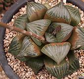 4-9 하월시아 haworthia