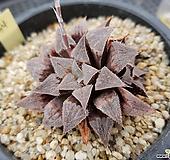 특가 하월시아34 haworthia