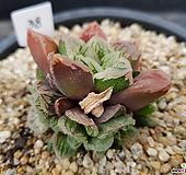 특가 하월시아38 haworthia